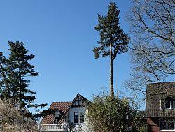 Beide Nadelbäume vor dem Haus Am Klosterwald 10 werden gefällt (1.4.2019; Foto: Klare)