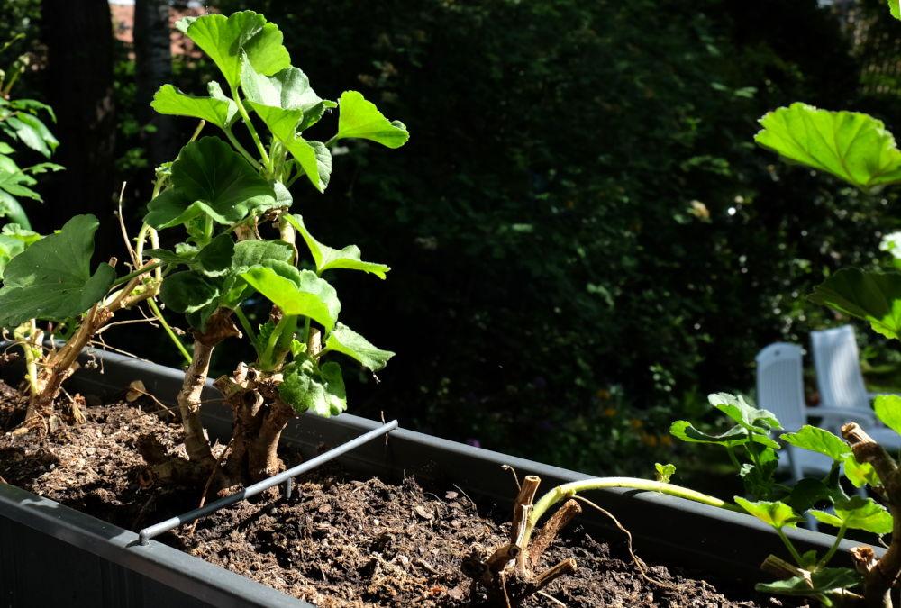 Am Start für die neue Blühsaison: Frisch ausgepflanzte stehende und hängende Geranien aus dem Vorjahr (14.5.2019; Foto: Klare)