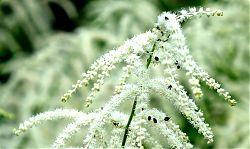 Insekten auf den Blütenrispen der Astilbe (7.6.2019; Foto: Klare)