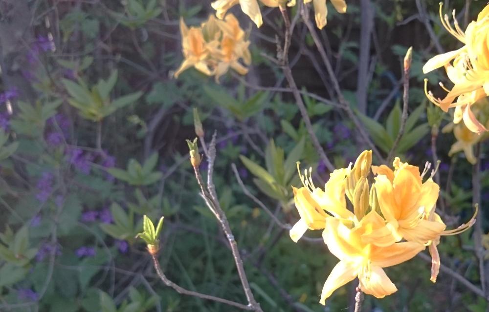 Azaleenblüte (19.4.2020; Foto: Klare)