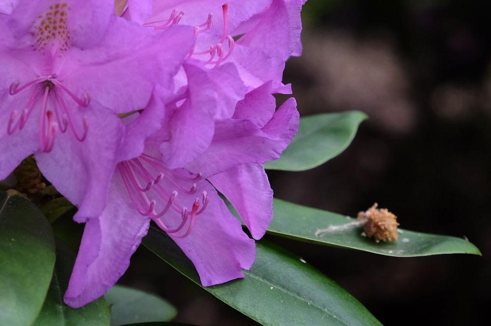 Rhododendron mit Buchenblüte (10.5.2020; Foto: Klare)