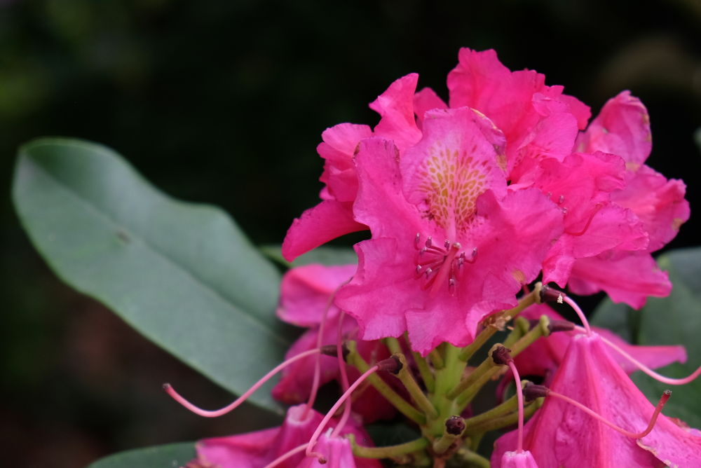 Roter Rhododendron (10.5.2020; Foto: Klare)