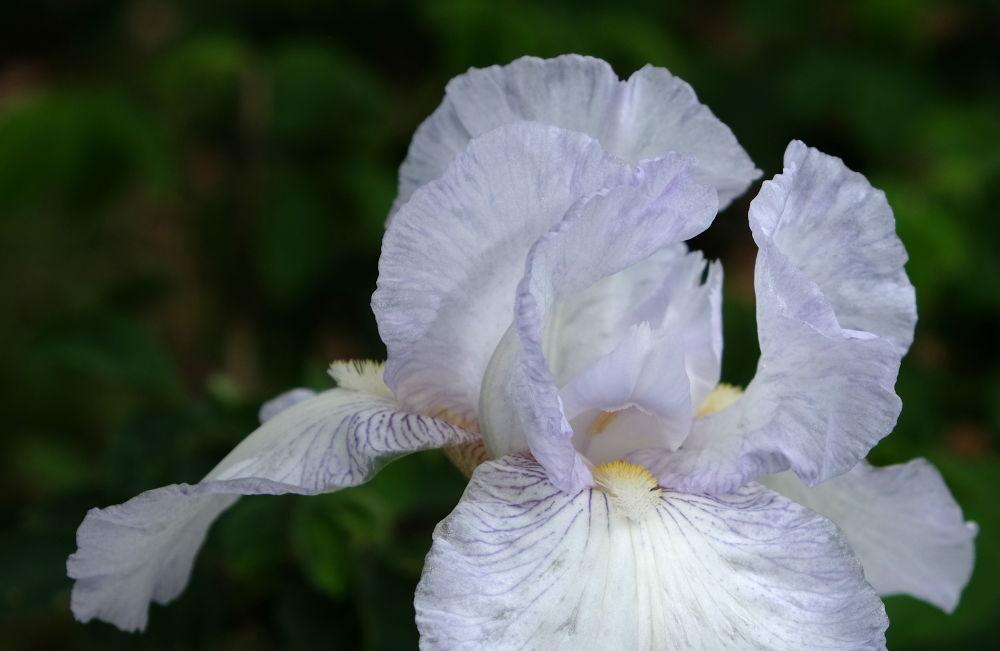 Groteske Schönheit: Iris (10.5.2020; Foto: Klare)