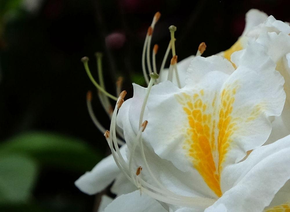 Weiße Azalee (10.5.2020; Foto: Klare)