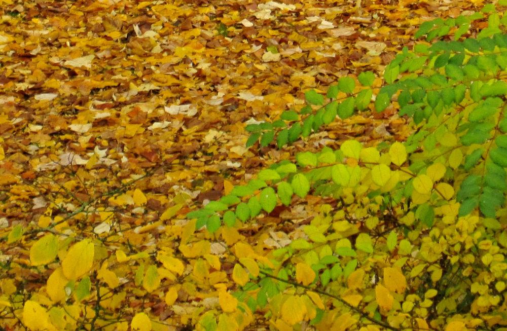 Herbstlaub (3.11.2010; Foto: Henning Klare)
