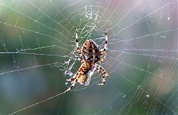 Kreuzspinne mit Beute: Eine Wespe hat sich im Netz verwickelt (13.10.2018; Foto: Klare)