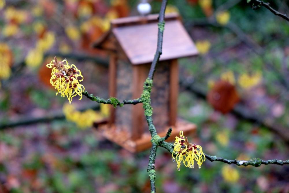 Leuchtende Blüten der Zaubernuss (26.1.2019; Foto: Klare)
