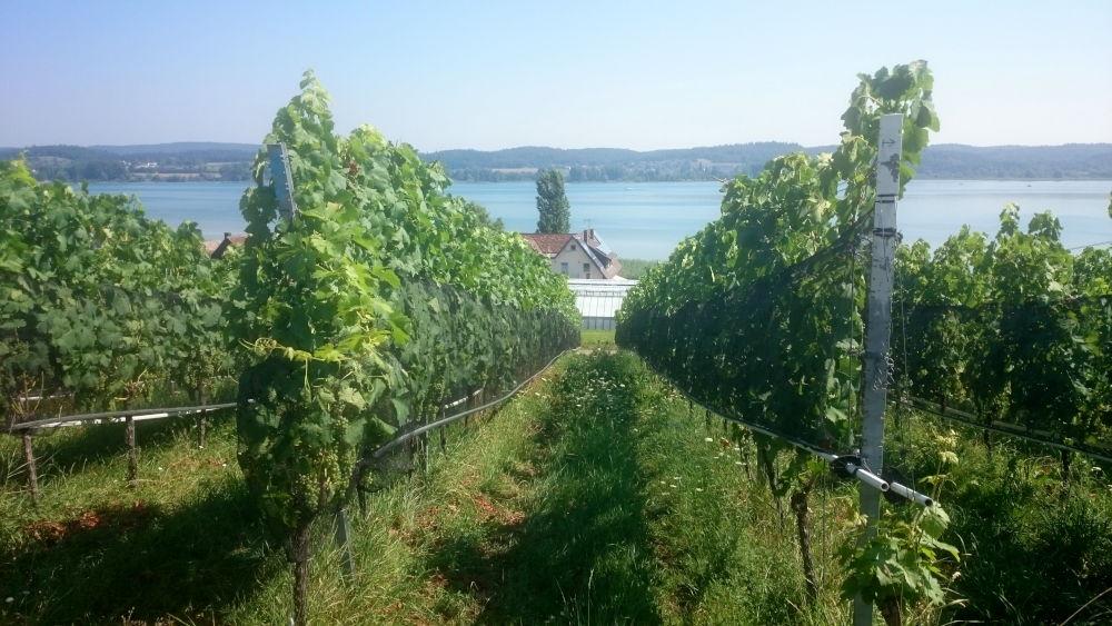 Reichenau: Weinberg (24.7.2018; Foto: Klare)